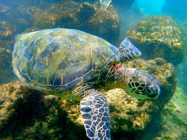 Swimming with sea turtles in Maui, Hawaii