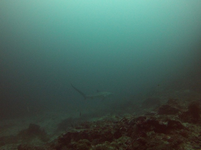 A baby thresher shark - about 2 meters long!