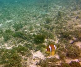 Clown Fish at Lapus-Lapus
