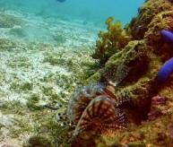 Lion Fish at Bantigue