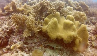 Puffer Fish at Lapus-Lapus